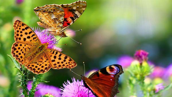 Schmetterlinge auf Distel